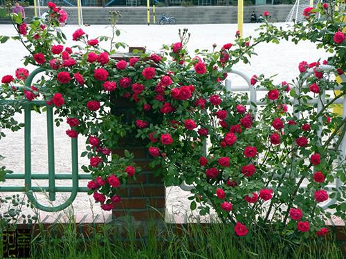 Kết quả hình ảnh cho hồng leo hải phòng
